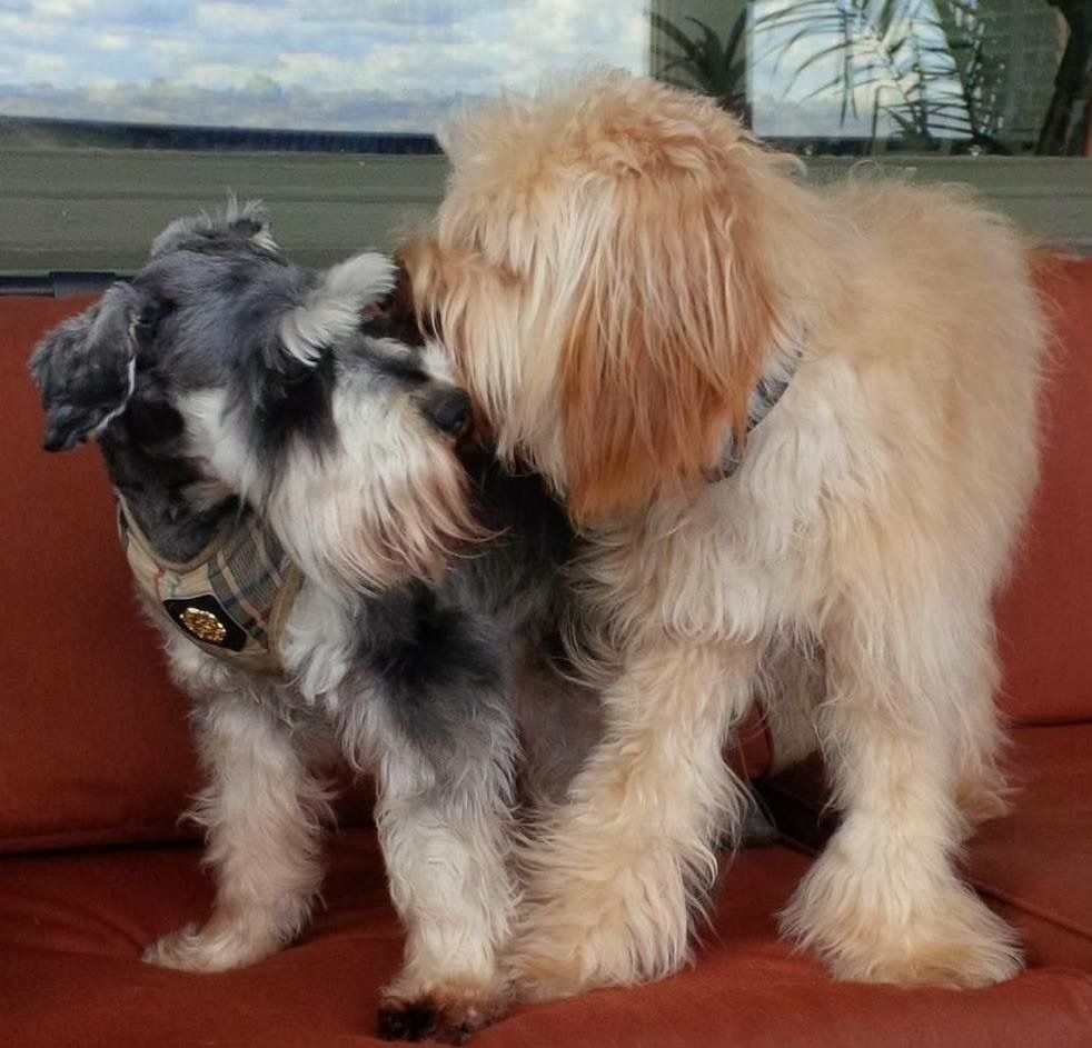 This adorable schnauzer and doodle are from East Walnut