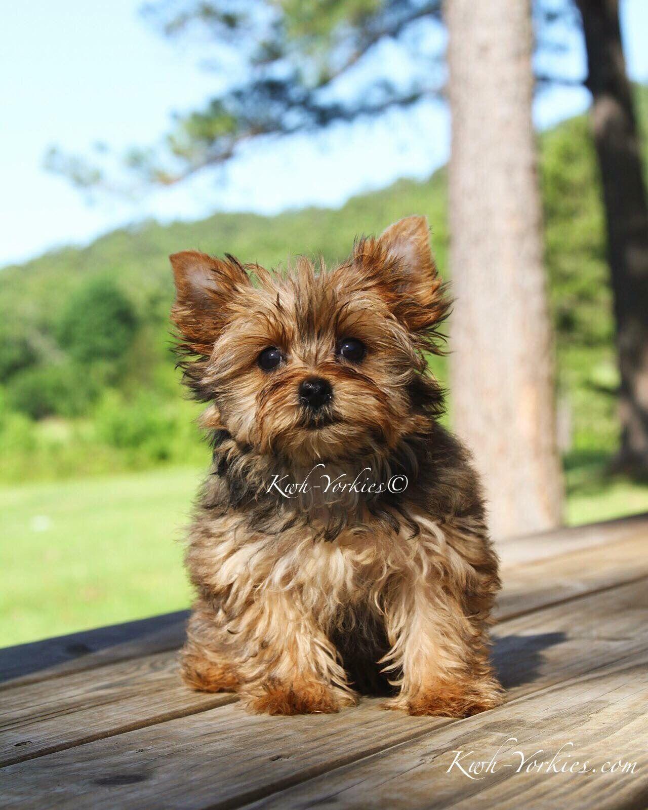 Sable Yorkie Yorkies Yorkie Colorfulyorkies Puppy Dog