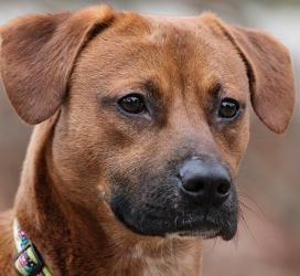 NC Adoptable Dog Brady Boxer Beagle Mix Charismatic