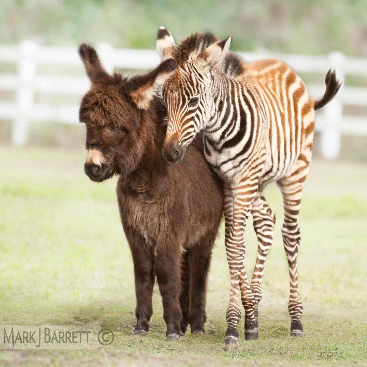 Grant Zebra foal and Miniature Donkey foal