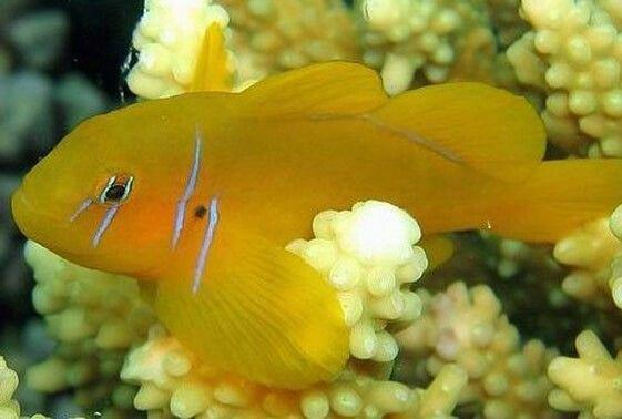 Citron Goby Salt Water Fish Marine Fish Fish
