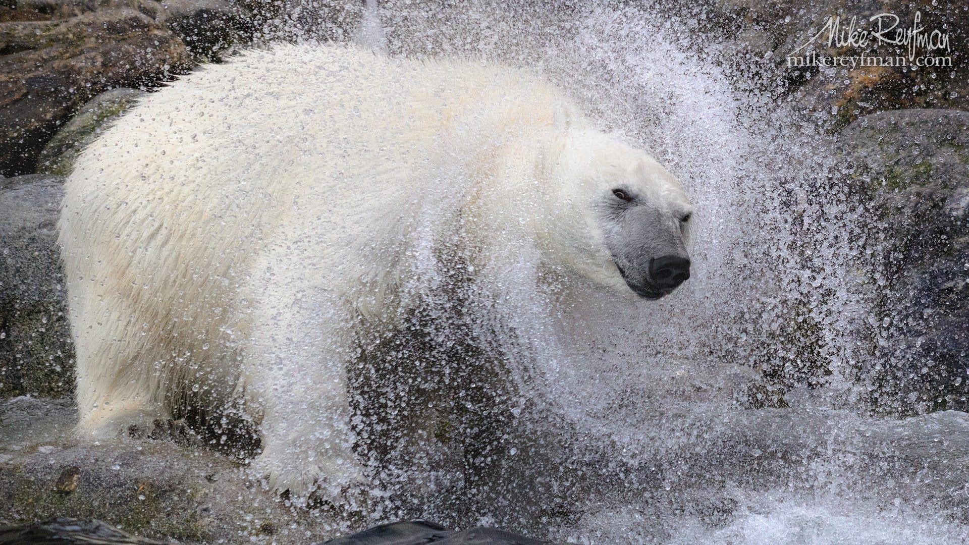 Wallpaper Et Fond D Ecran Ours Polaire Blanc Animals Animaux Sauvage Nature En 2020 Ours Polaire Fond D Ecran Ours Ours