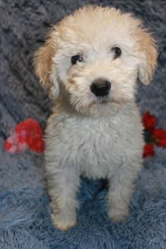 Puppies Poodle Mixed Pet Whoodl Wheaten Poodle Wheaton Poodle