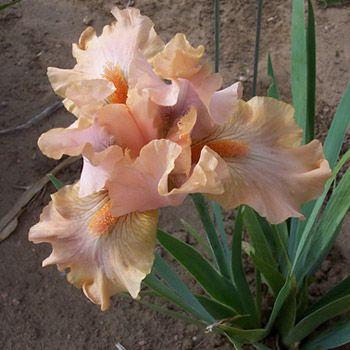 IB Iris germanica 'Miss Sedona' (Magee, 1991)