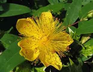 Hypericum Garden Pinterest Plants Shade Plants And Shrubs