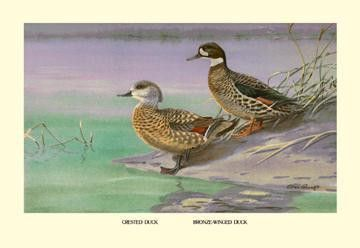 Crested and Bronze-Winged Ducks 20x30 poster