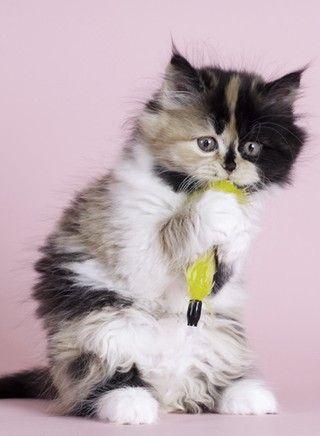 Britisch Langhaar Baby Katzen Katzenrassen Und Britisch Langhaar