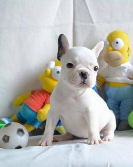 French Bulldog Puppies For Sale On Craigslist Archives ...