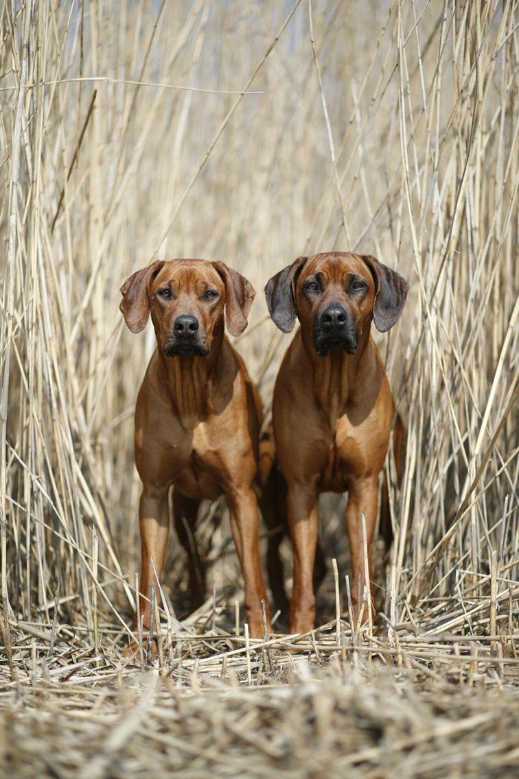 Rhodesian ridgeback rr beautiful dogs pinterest rhodesian rhodesian ridgeback nvjuhfo Gallery