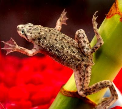Setting Up African Dwarf Frogs Fish Bowl Ornamental Aquarium Fish Dwarf Frogs Pet Frogs African Frogs