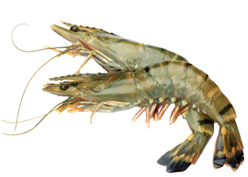 Shrimps PNG Pictures to draw, Image, Photo