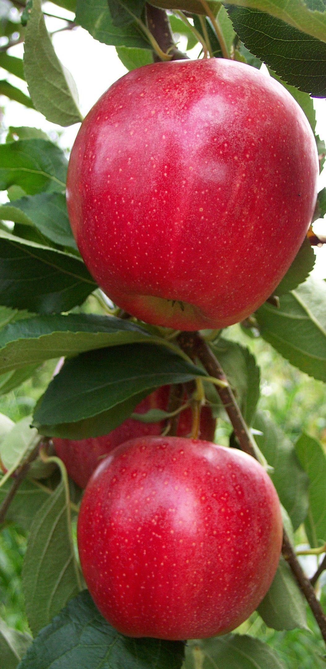 Fresh apple gala must apple buy fresh apples gala apple product