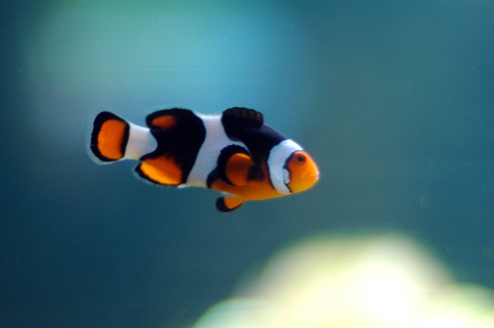 Picasso Clownfish Ebay Clown Fish Sea Fish Sea Animals