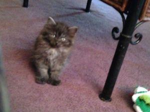 Catshirt Cats And Kittens Cat Breeds Kittens