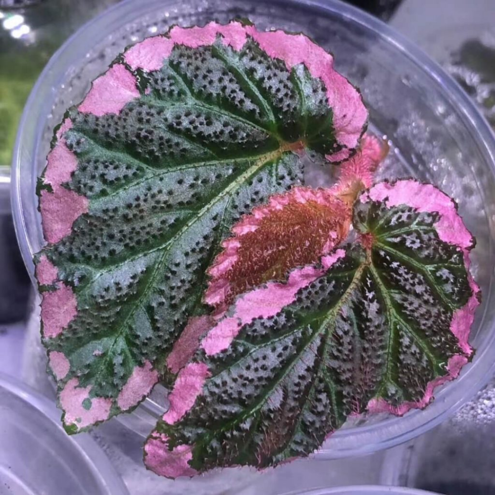 Begonia fulvovillosa for Sale HappyForest in 2020