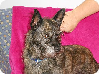 Hawk Point Mo Cairn Terrier Mix Meet Roo A Dog For Adoption