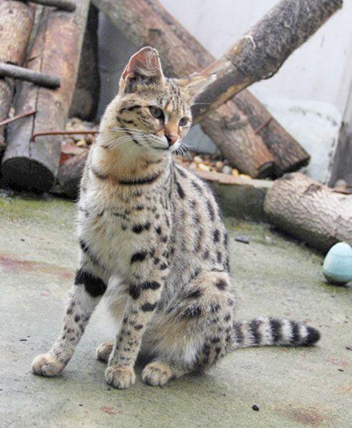 Client Brag Page Savannah Cats Select Exotics Savannah Cat Savannah Chat Spotted Cat