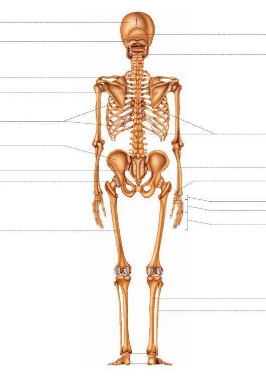 Esqueleto - Doctissimo   Tutoriales   Pinterest   El cuerpo humano ...