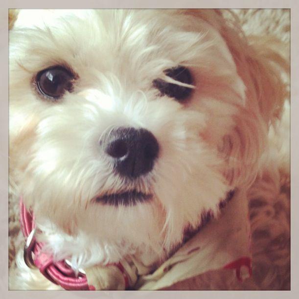 My Beautiful Puppy Zoe Zuchon Schichon Teddy Bear Puppies Bichon Shih Tzu Mix Beautiful Dogs