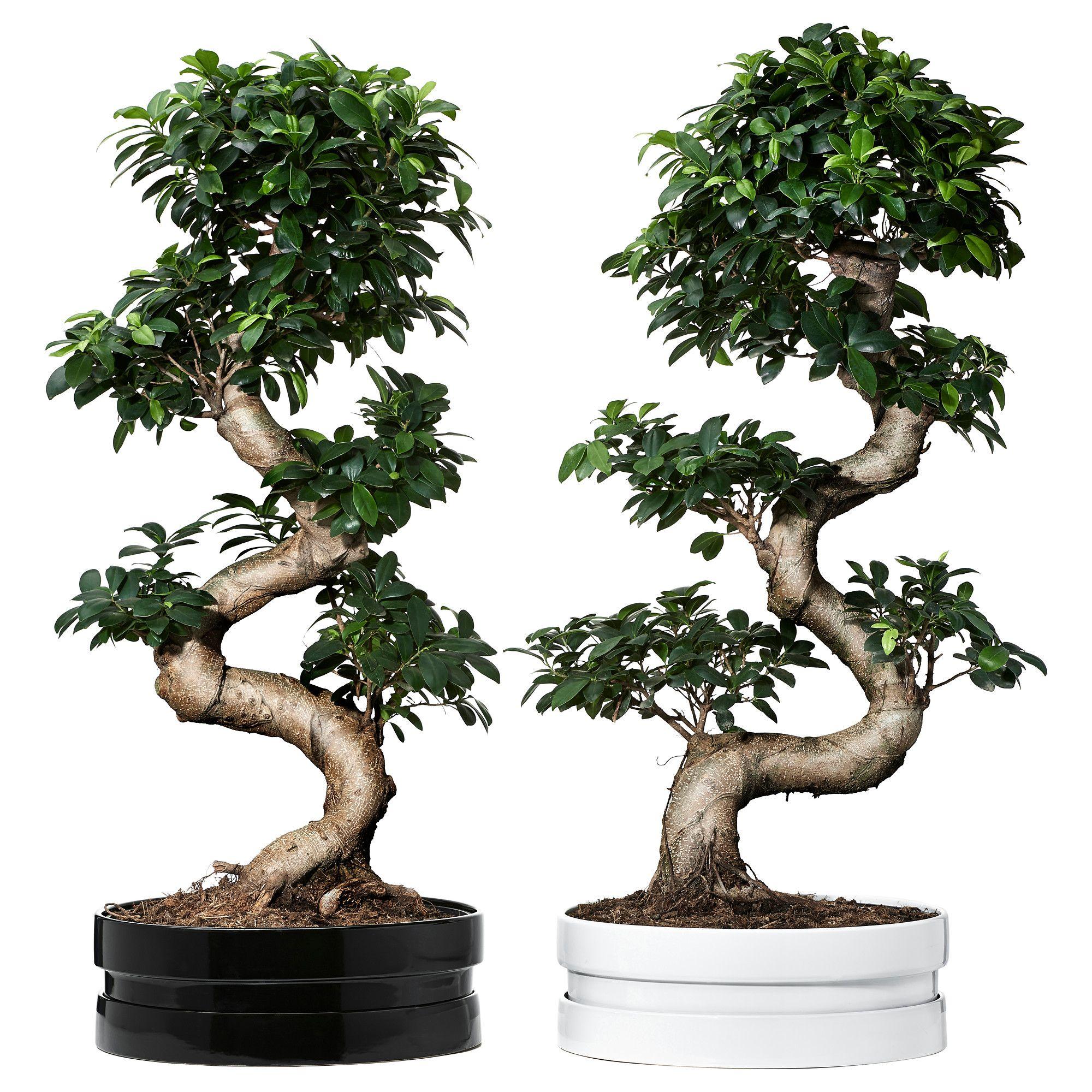 ficus microcarpa ginseng rastlina v kvetin i bonsaj r zne farby ficus met and bonsai. Black Bedroom Furniture Sets. Home Design Ideas