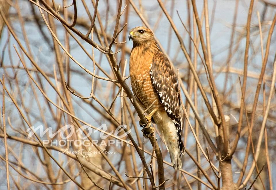 A Red-Shouldered Hawk, photographed in Cotton Center, Texas.