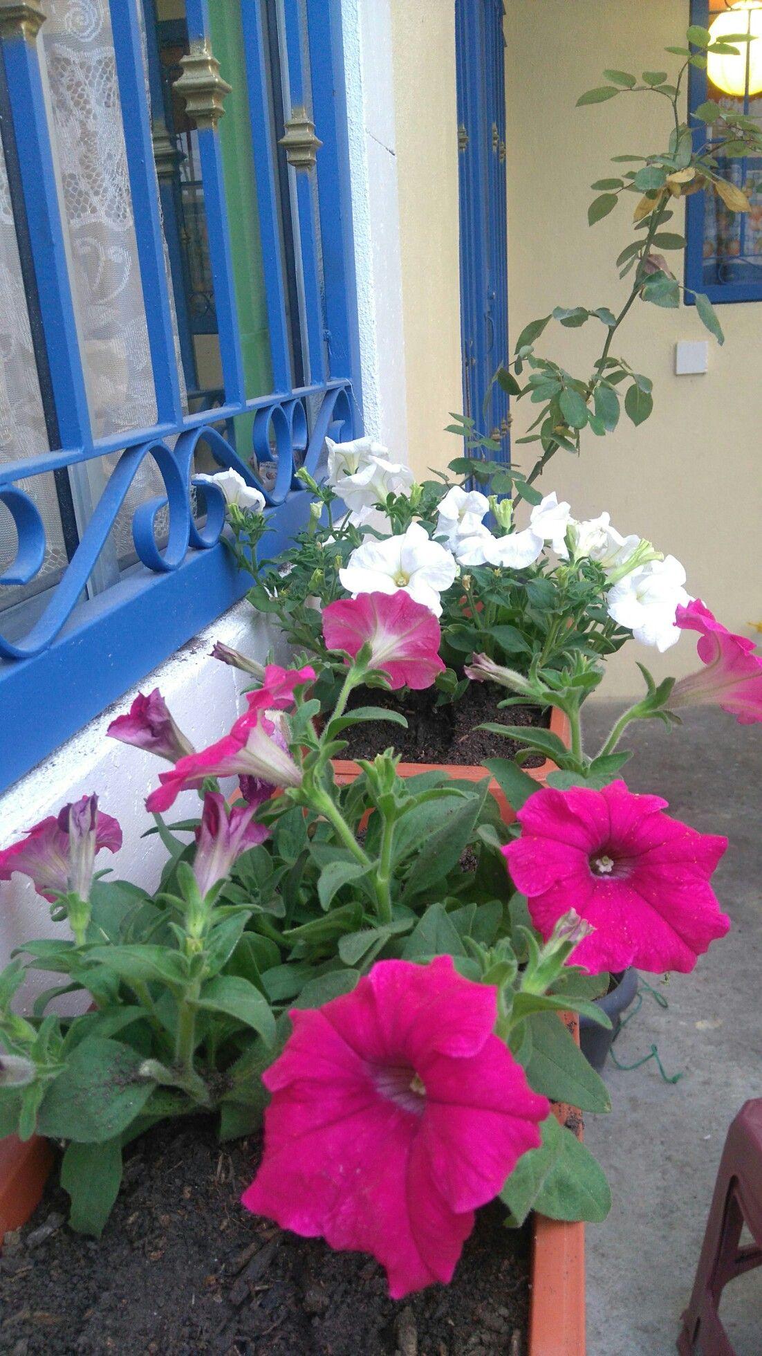 Petunias Con Imagenes Flores Para Jardin Flores Jardines