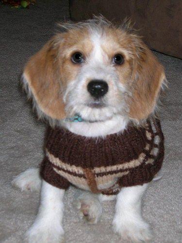 Dd 155 Be Apso Beagle Lhasa Apso Designer Dogs Ii