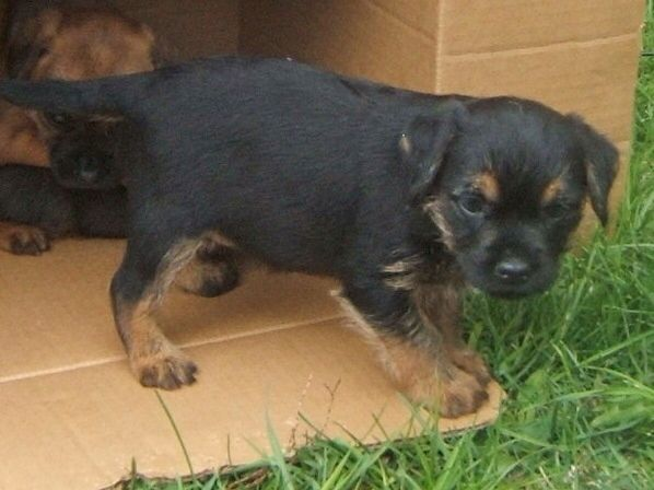 When I Was Just 8 Weeks Old Border Terrier Puppy Border