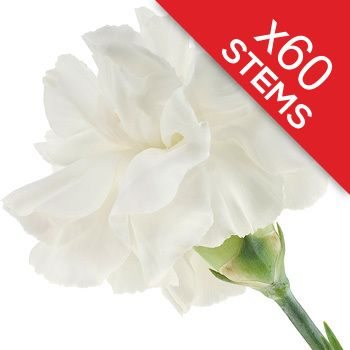 60 Classic White Carnations Send 60 long lasting white carnations http://www.MightGet.com/january-2017-12/60-classic-white-carnations.asp