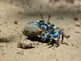 Bildresultat för crab