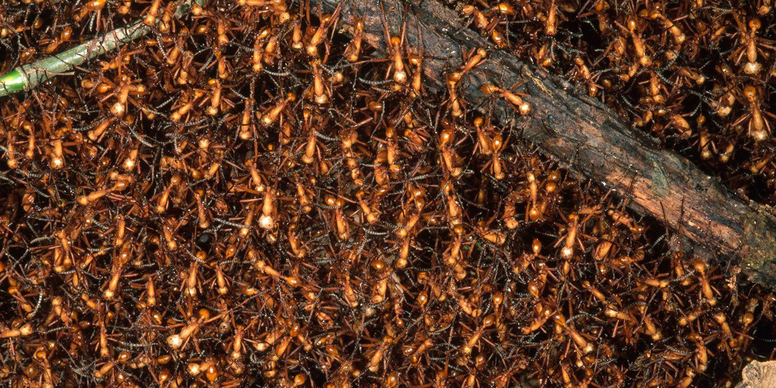 Resultado de imagem para formiga Dorylus