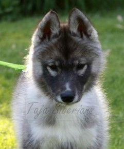 Siberian Husky Puppies And Dogs