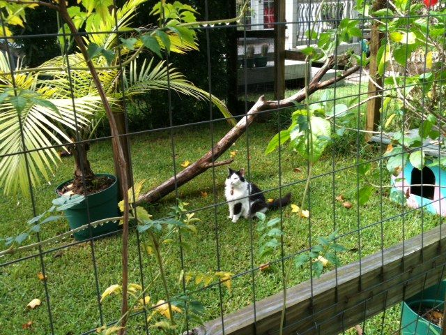 Jane and her husband saved a lot of money building this outdoor cat enclosure at their home in Virginia by using plans available from Just4Cats.com.This kind of enclosure lets cats enjoy the outdo...