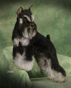 Is It Just Me Or Does This Dog Looks Like A Dragon Miniature Schnauzer Miniature Schnauzer Puppies Schnauzer Puppy
