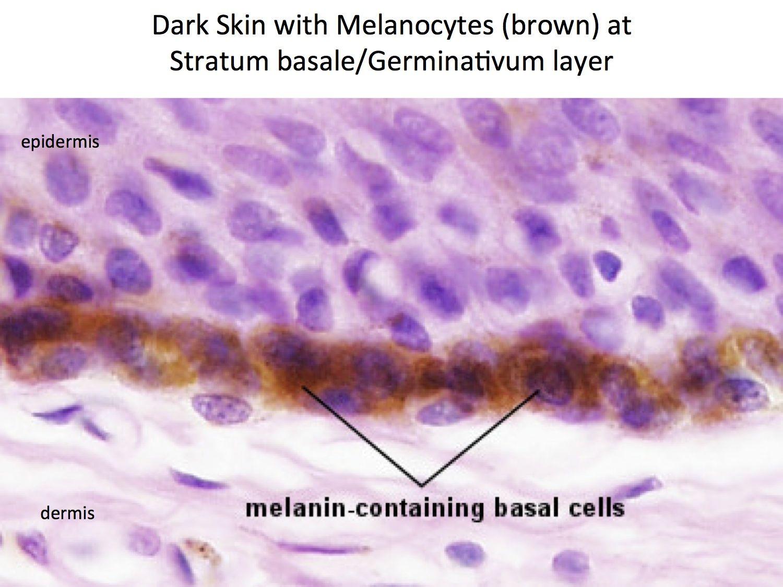 skin melanocytes histology [ 1500 x 1125 Pixel ]