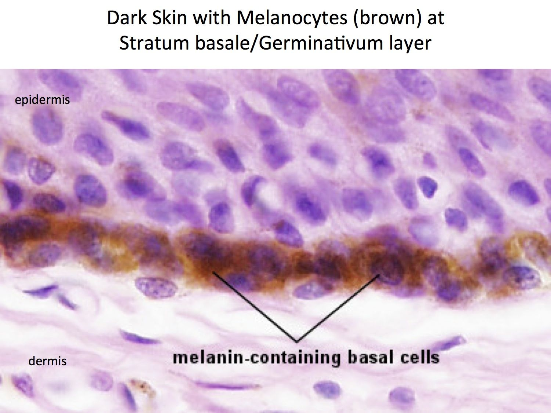 hight resolution of skin melanocytes histology