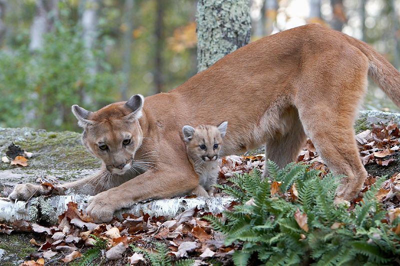 POLL: Should the kill quota on cougars be increased in New Mexico ...