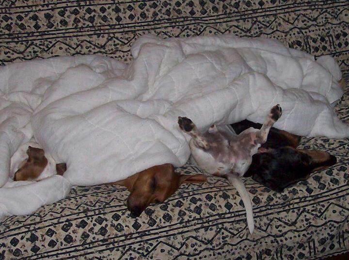 Odd Ball Dachshund Lovers Puppies And Kitties Weiner Dog