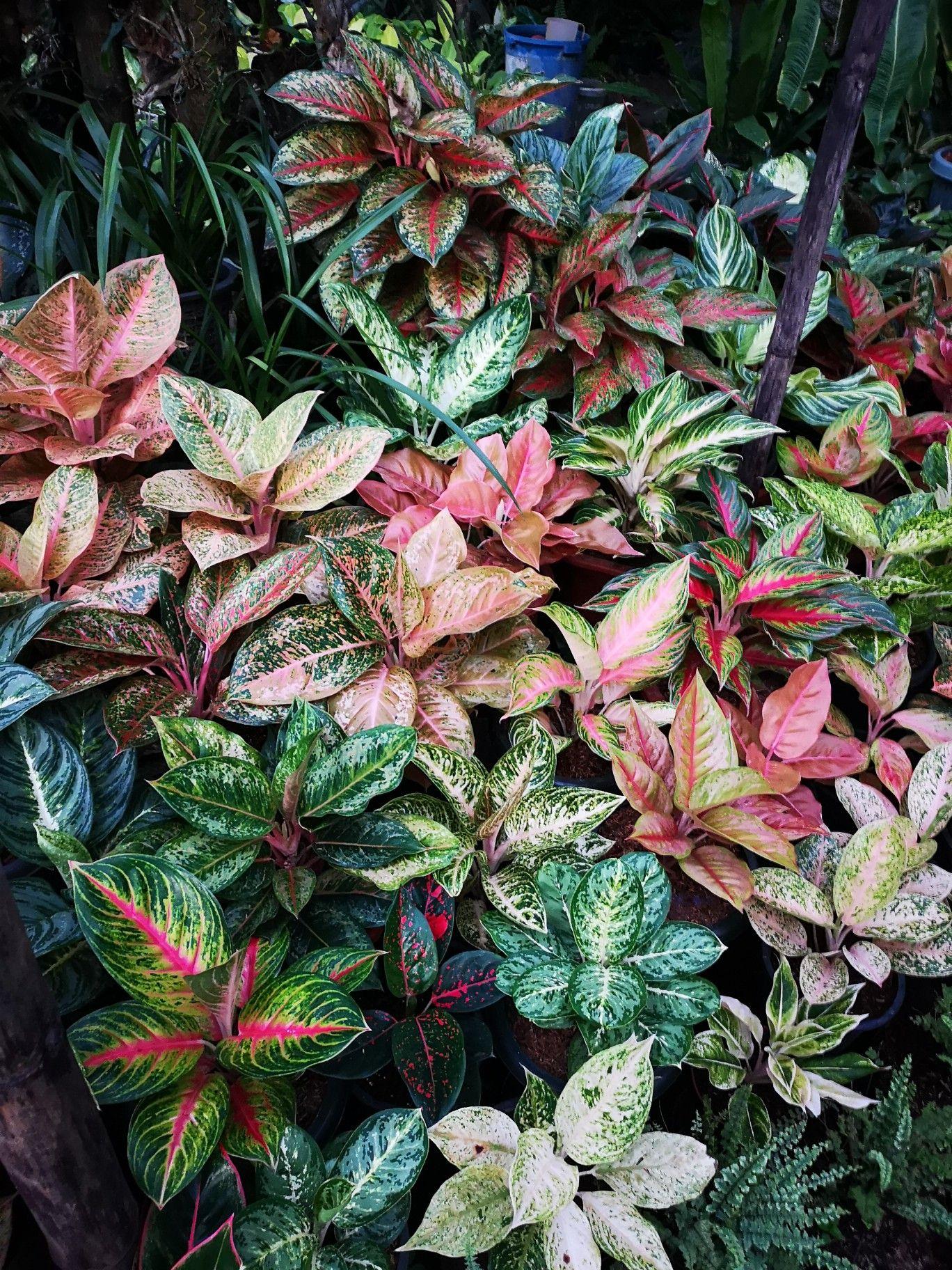 Aglaonemas Flowering Vine Plants Foliage Plants Trees To Plant