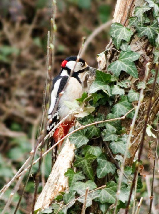 woodpecker by arayashikinoshaka