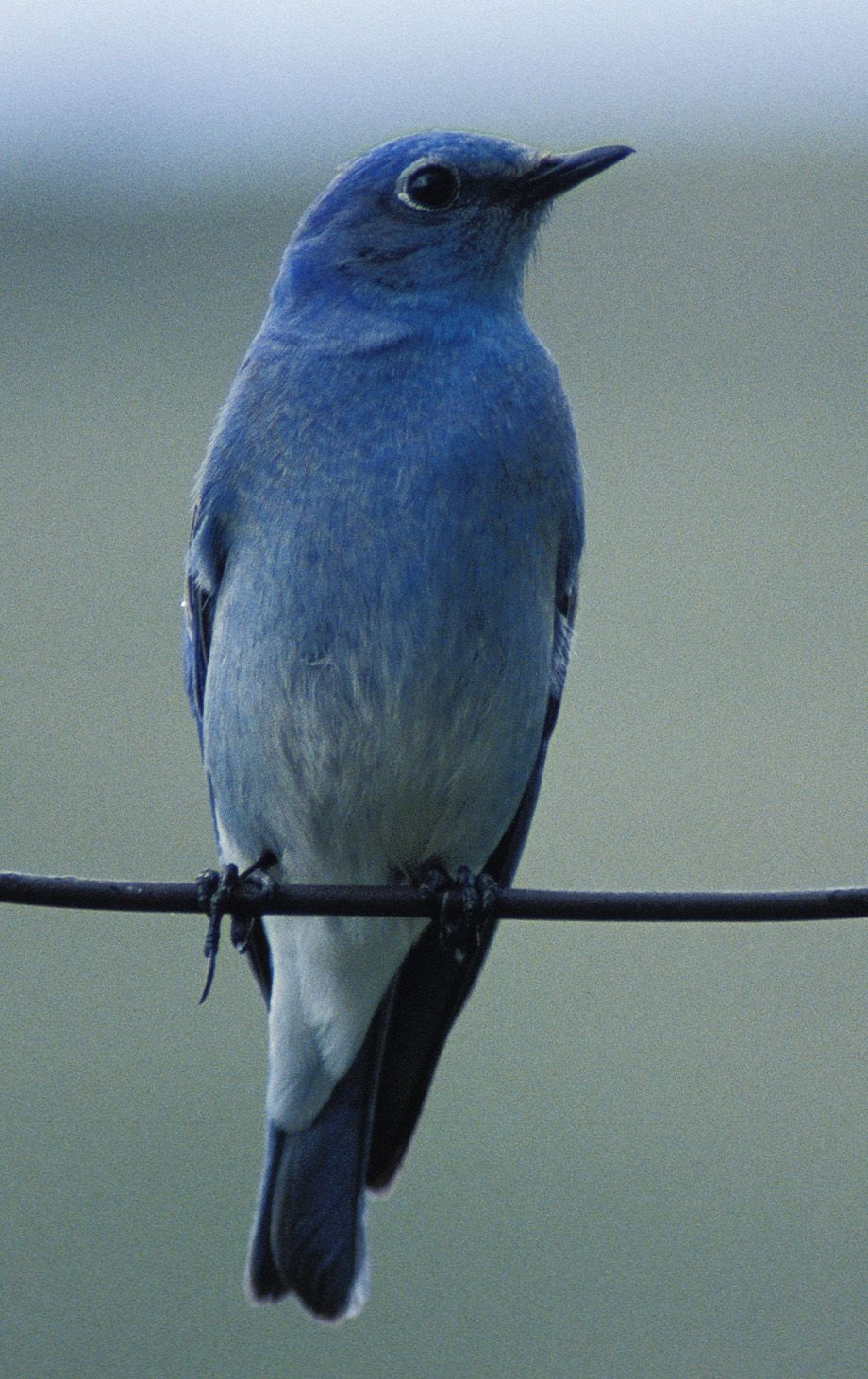 Blue birds in colorado google search blue pinterest bird blue birds in colorado google search buycottarizona Images