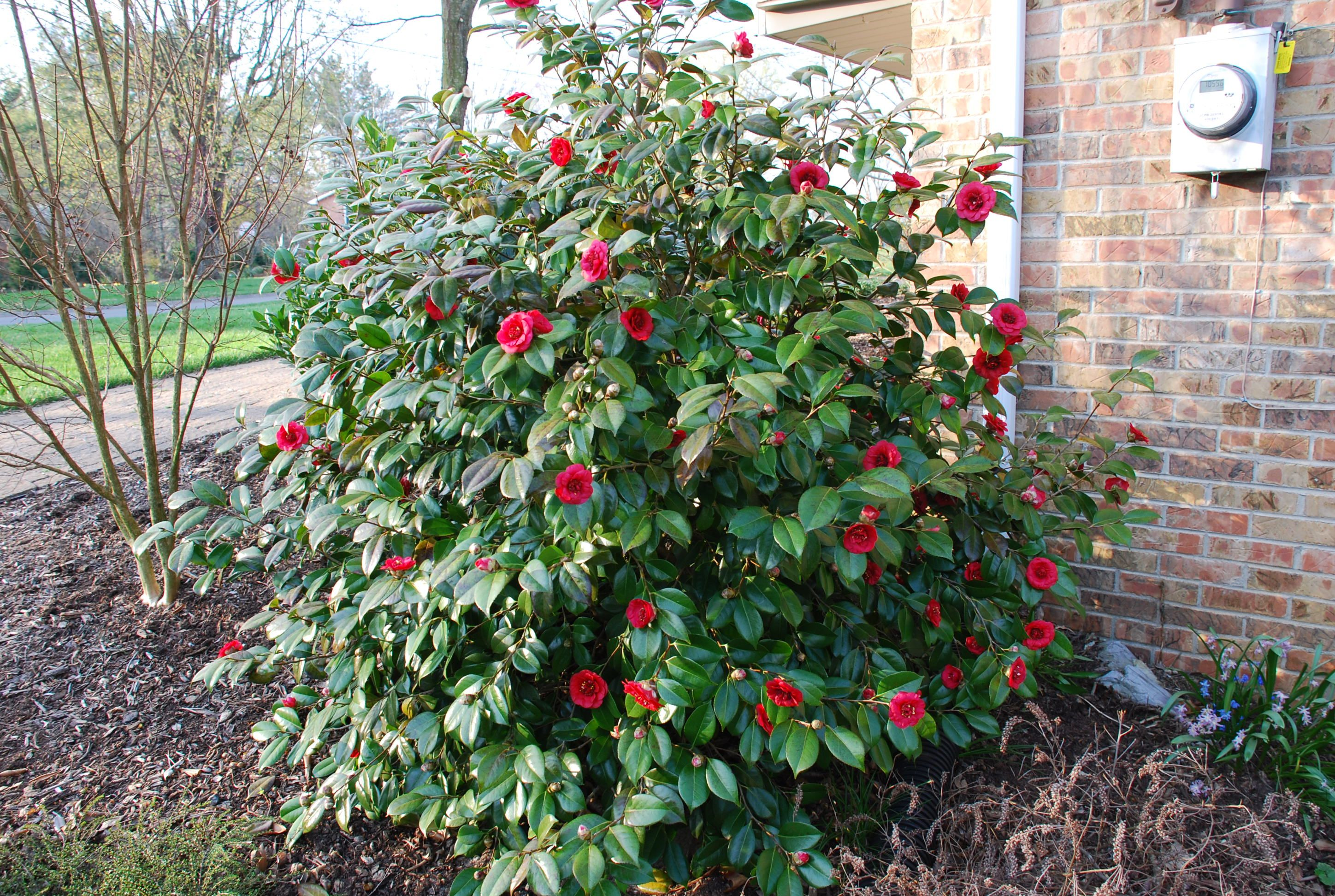 Camellia Japonica Hokkaido Red Camellia From Pleasant Run Nursery Most Beautiful Flowers Beautiful Flowers Japonica