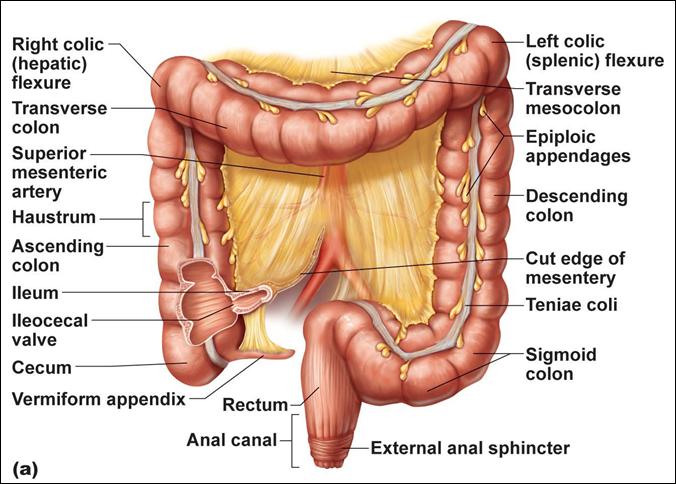 Regions Of Large Intestine Study Help Anatomy Intestines