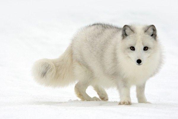 yellowstone national park snow fox | wary arctic fox this enchanting arctic fox alopex lagopus is