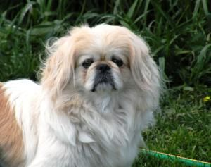 Adopt Beth On Pekingese Dogs Pekingese Spaniel Dog