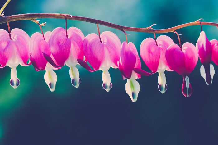 What Does The Bleeding Heart Flower Mean This Eye Catching Flower Carries Meanings Like Expressing Your Bleeding Heart Flower Bleeding Heart Flower Meanings