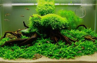 Java Moss Tanaman Air Tawar Yang Mudah Didapat Dan Multi Manfaat