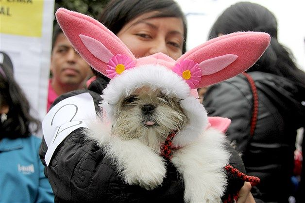 Image A Woman Shows Her Dog Dressed As A Bunny During A Costume