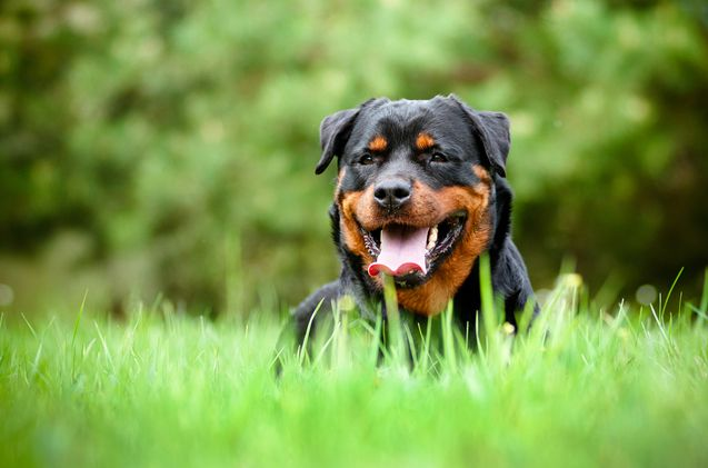 Different Dog Insurance Rates And Coverage Types Rottweiler Dog