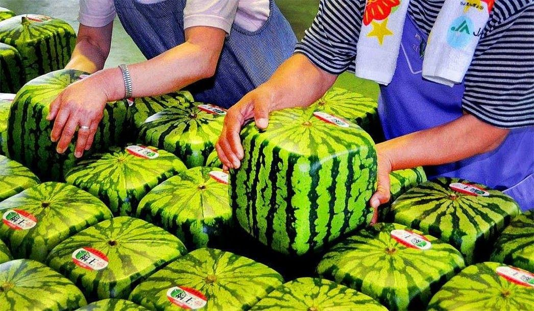 Did you know that in Japan they have watermelons that are square? They do this by growing them in glass square crates so it makes them easier to ship!